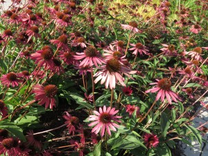 Summer Cone Flowers